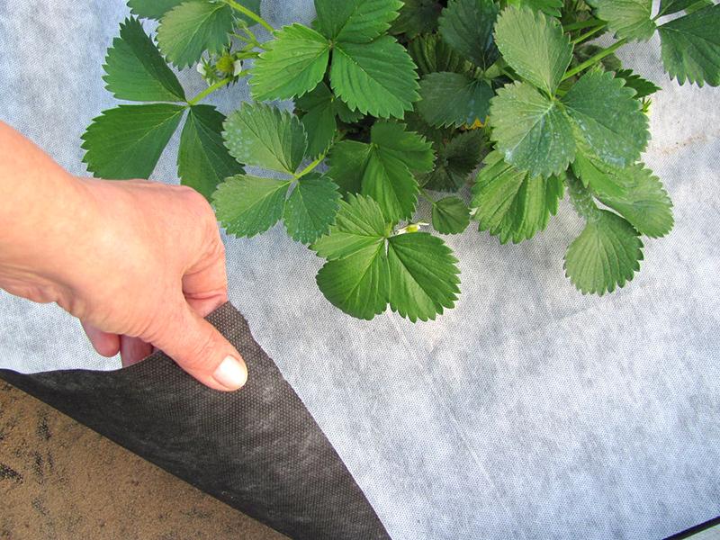 Клубника на агроволокне: новая технология для большого урожая