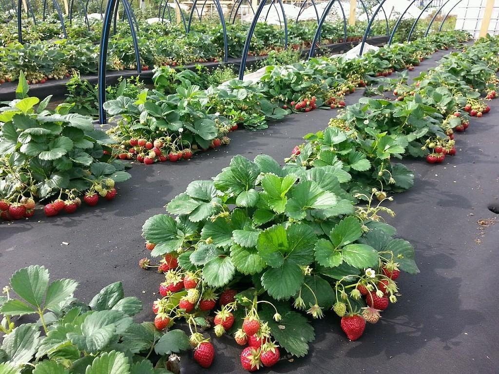 Как выращивать клубнику под агроволокном: примеры и отзывы
